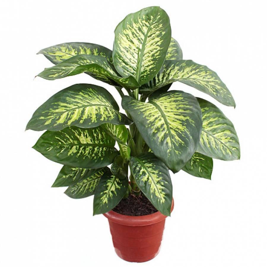 Уход за декоративно-лиственными комнатными растениями в домашних условиях + фото