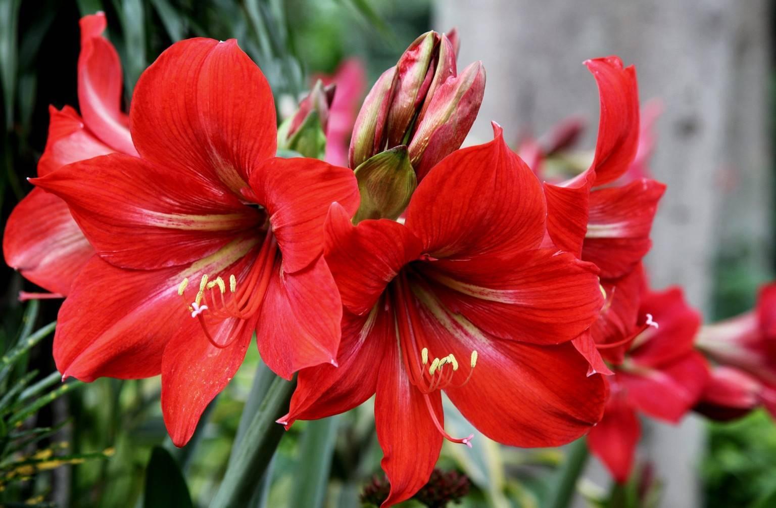Гиппеаструм: описание, правила ухода в домашних условиях, в саду, в период покоя, после цветения, технология размножения, как заставить цвести, советы