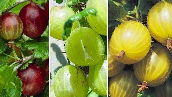 Крыжовник русский красный: секреты получения обильного урожая