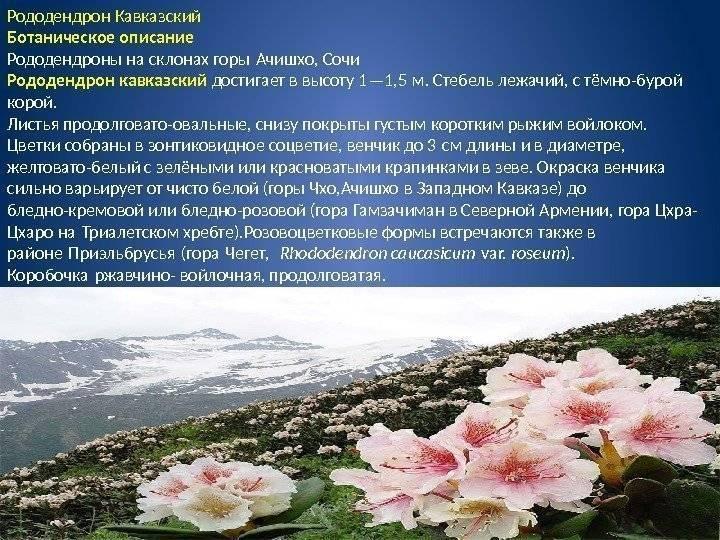 Сорта рододендрона листопадного: их описание, посадка и уход