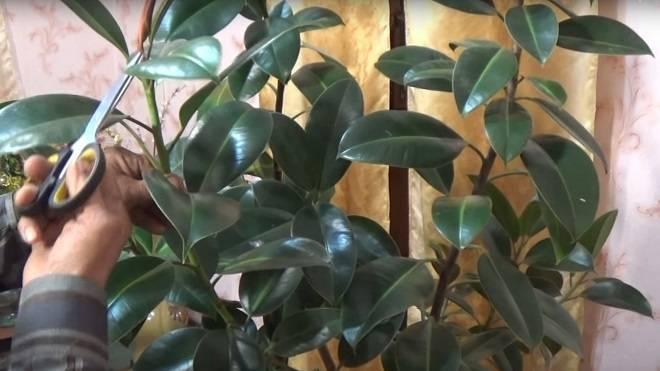 Натуральное удобрение для фикуса. как ухаживать, чтобы зацвел в домашних условиях