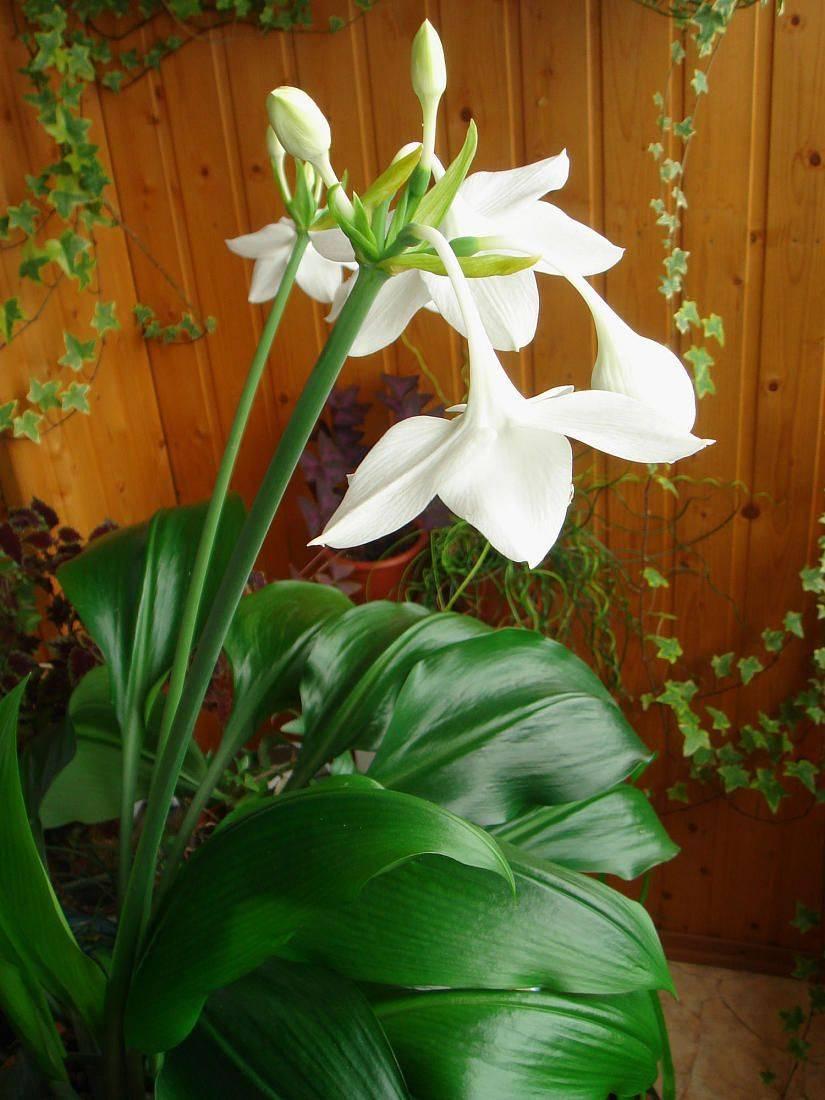 Эухарис: выращивание, виды и сорта
