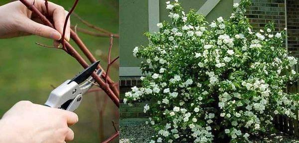 Кустарник жасмин — как выглядит, виды