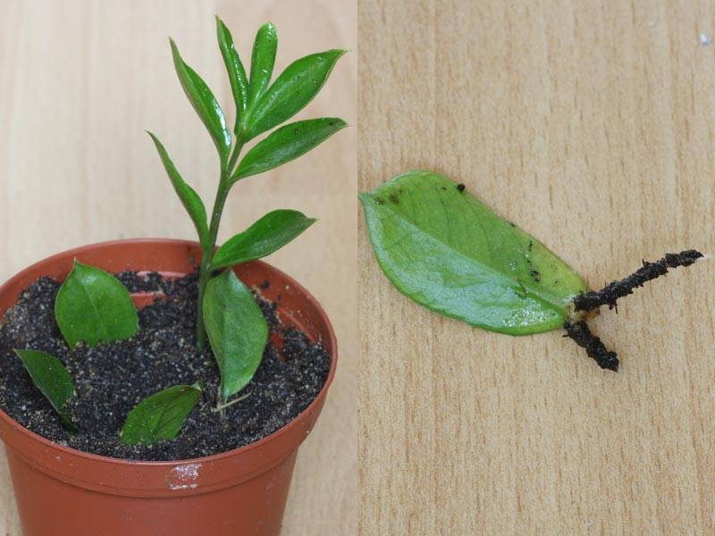 Замиокулькас: как пересадить правильно, какая земля нужна для замиокулькаса