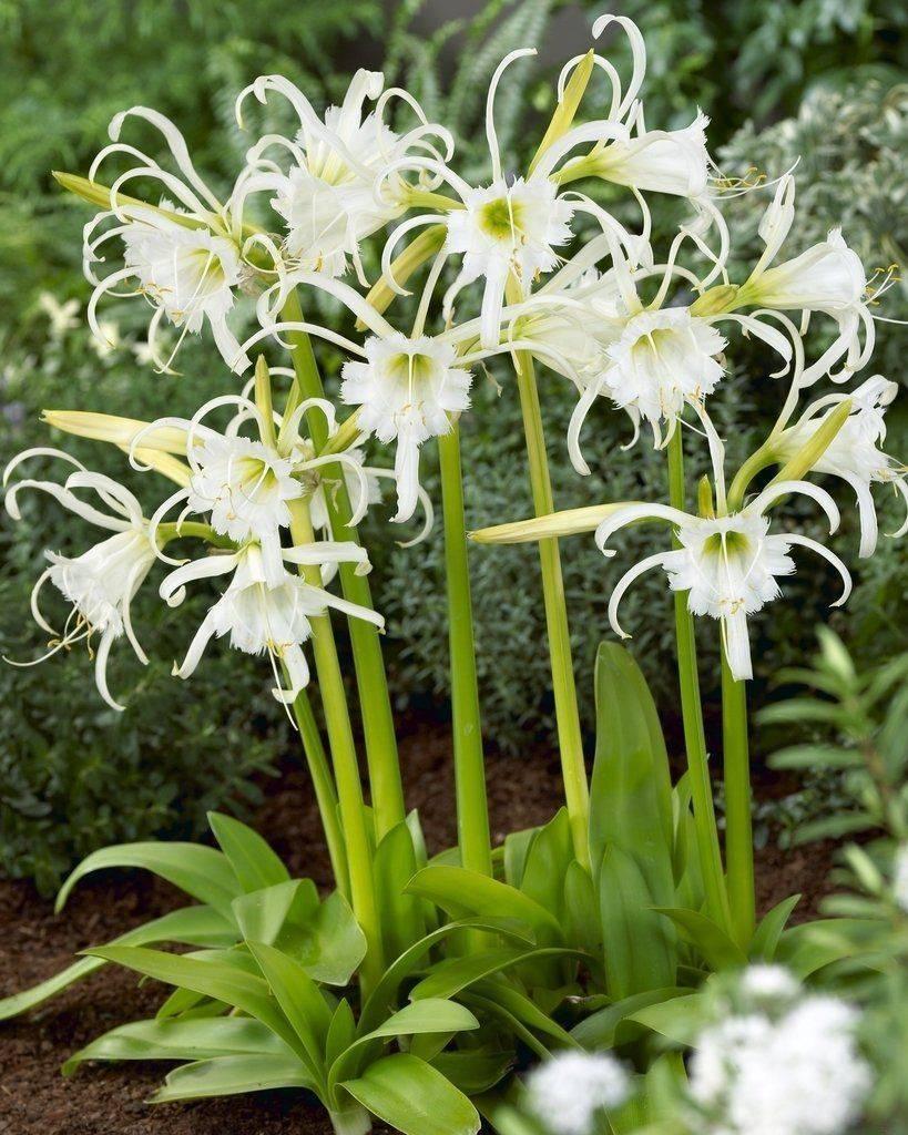 Как вырастить цветок гименокаллис дома