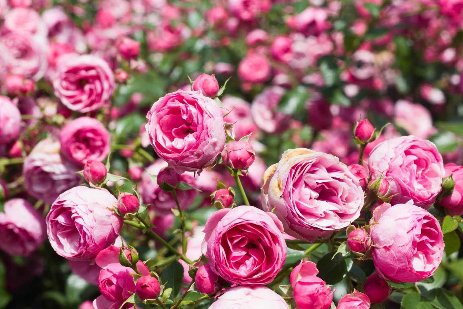 Описание чайно-гибридной розы голубой нил: что это за сорт оригинального цвета