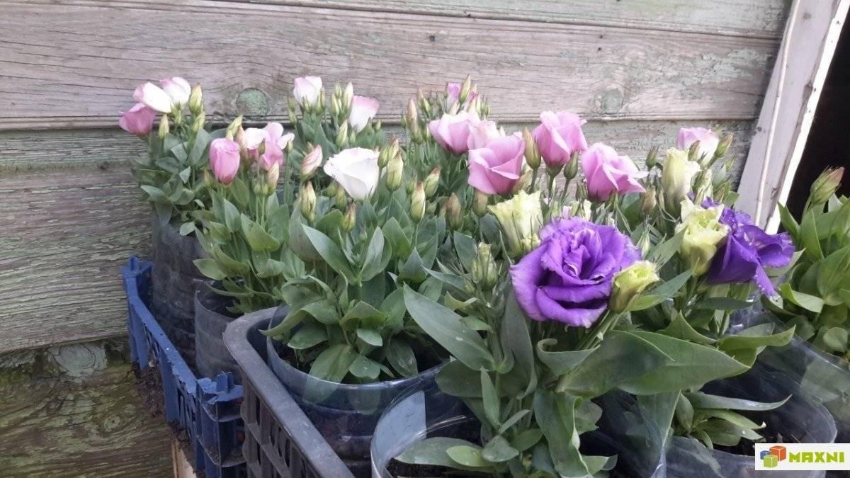 Эустома многолетняя (53 фото): посадка и уход в открытом грунте, выращивание садовых цветов, зимовка многолетников