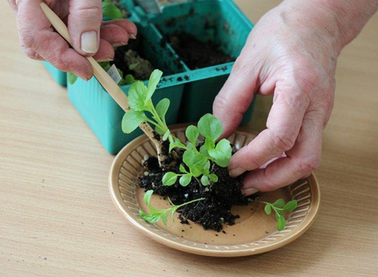Выращивание рассады цветов в домашних условиях и высадка в грунт - энциклопедия цветов