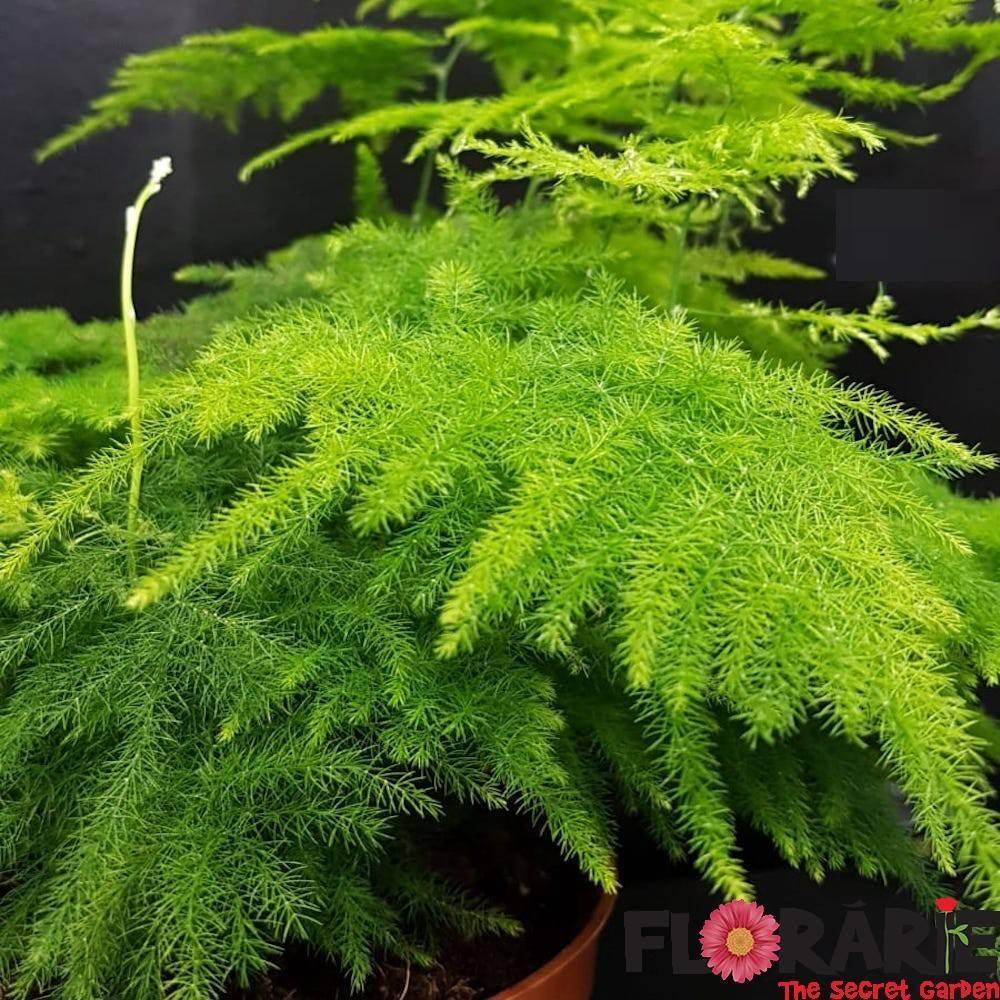 Растение аспарагус (спаржа): фото, видео ухода, выращивание в домашних условиях, описание видов