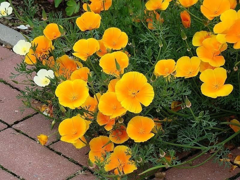 Эшшольция (48 фото): выращивание «цветов солнца» (калифорнийского мака), посадка и уход в открытом грунте. как собрать семена? эшшольция махровая на клумбе