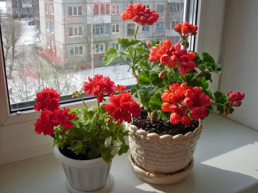 Как пересадить герань правильно в домашних условиях и в открытый грунт: можно ли после покупки и летом, а также пошаговая инструкция, нюансы ухода и фото цветка