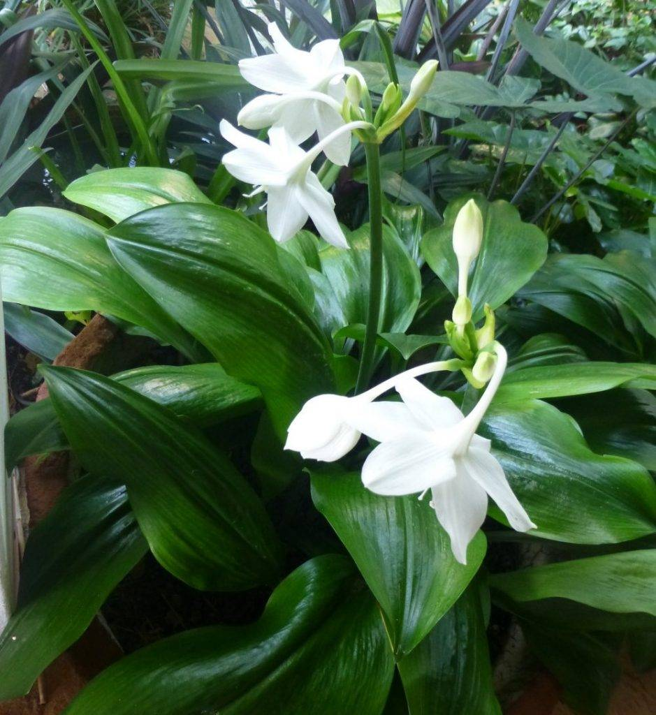 Эухарис: особенности и виды, уход и размножение