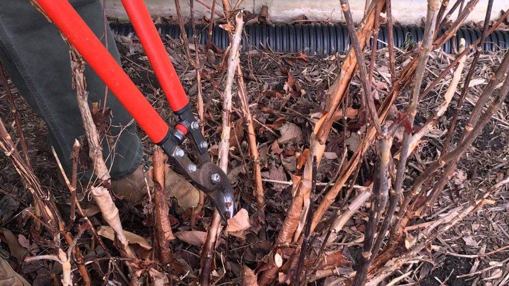 Схема обрезки сирени после цветения: способы правильного выращивания и секреты как посадить сирень своими руками (85 фото)