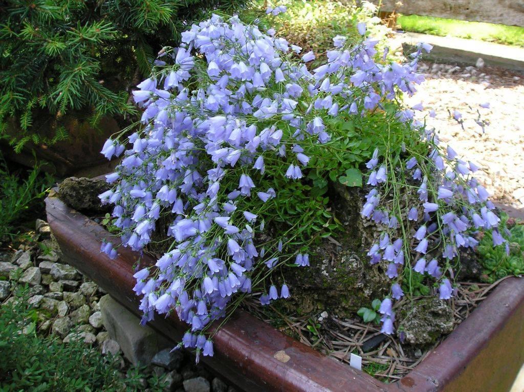 Колокольчик садовый и выращивание колокольчика карпатского дома