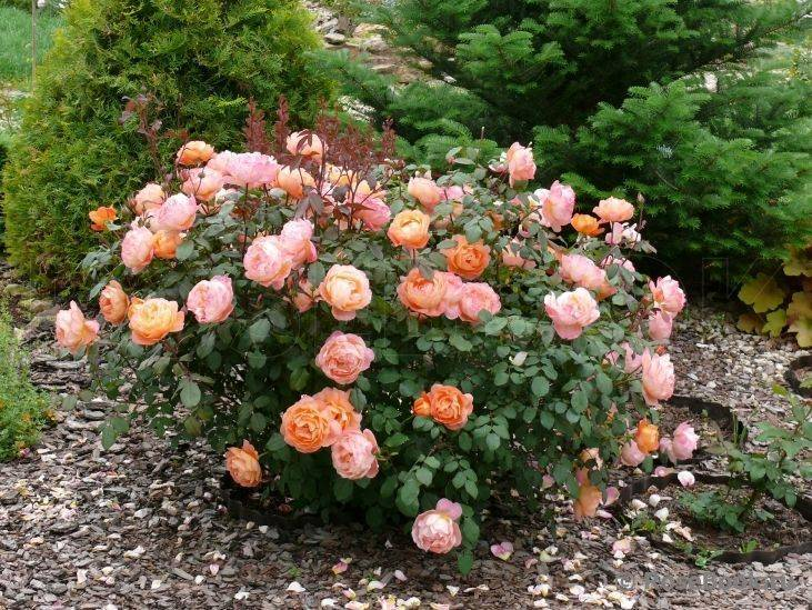 Роза пэт остин (pat austin)