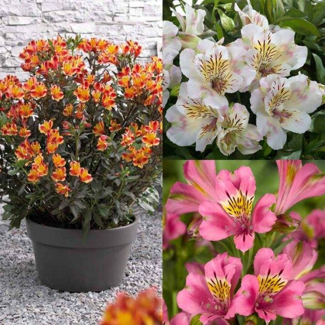Виды и сорта незабудок: садовые цветы, полевые, стелющиеся, как выращивать