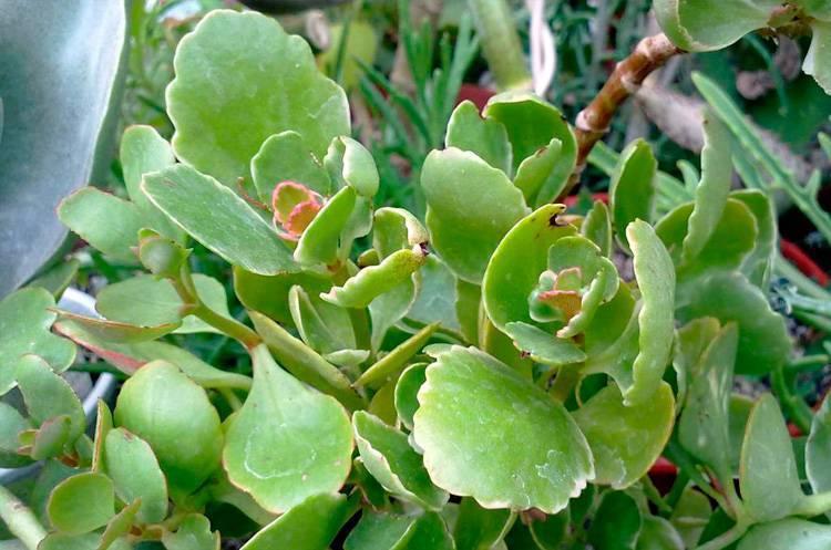 Почему у каланхоэ сохнут и желтеют листья: виды болезней растения, что делать