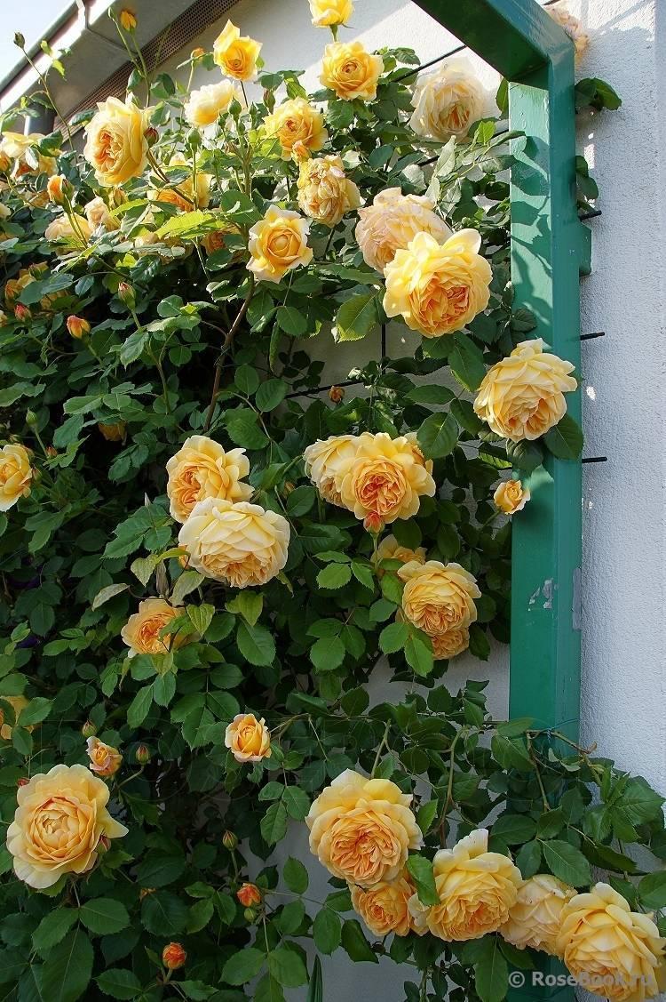 Роза сорта голден селебрейшен: особенности посадки и ухода за растением
