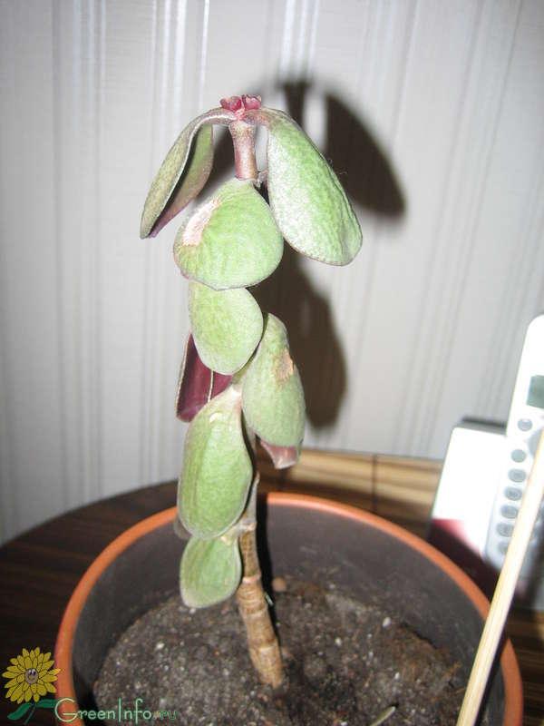 Срочная помощь растению: как реанимировать денежное дерево в домашних условиях?