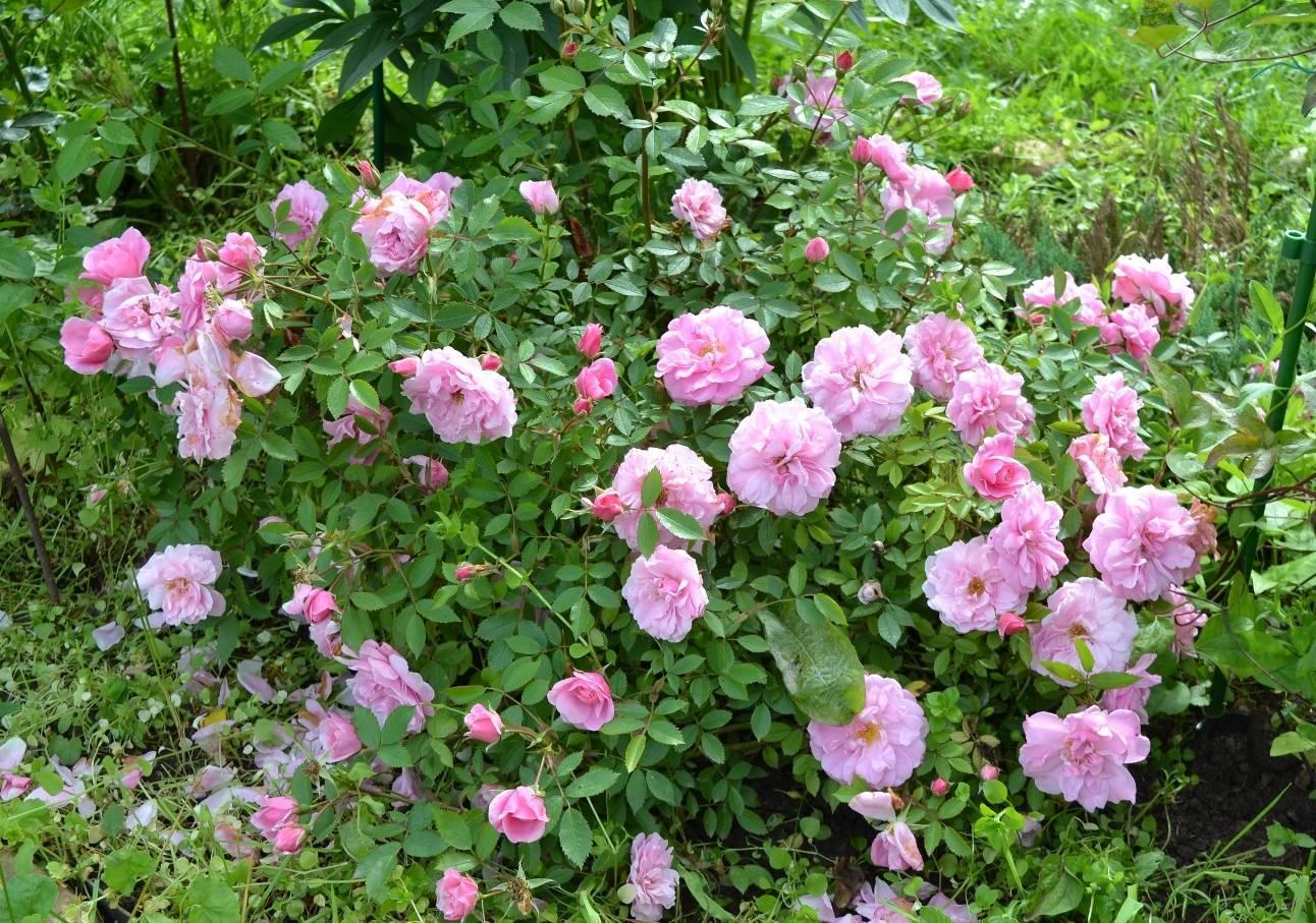 Описание канадской парковой розы сорта джон дэвис: посадка и уход за цветком