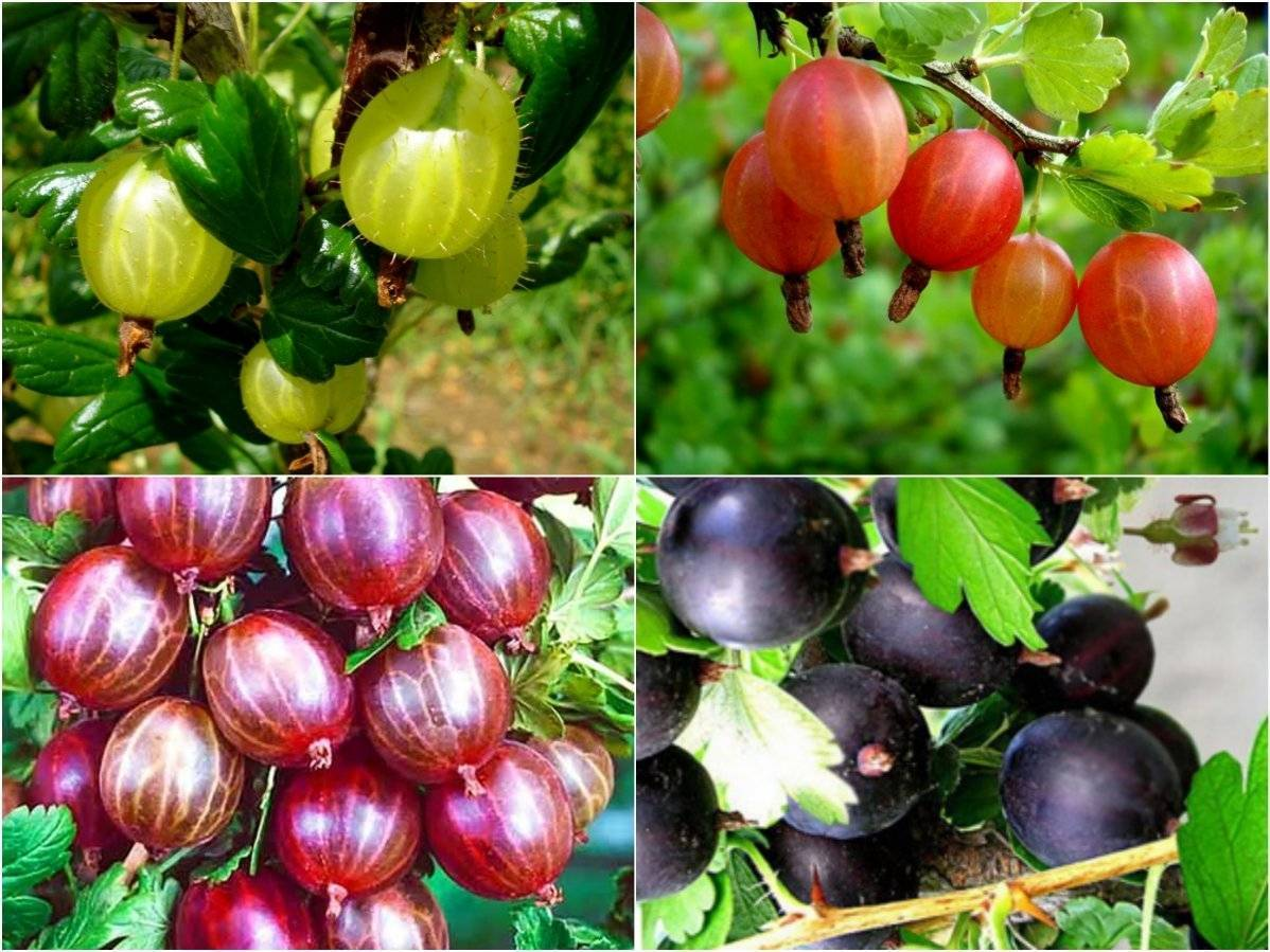 Все о подкормке крыжовника: удобрение во время цветения, плодоношения и после