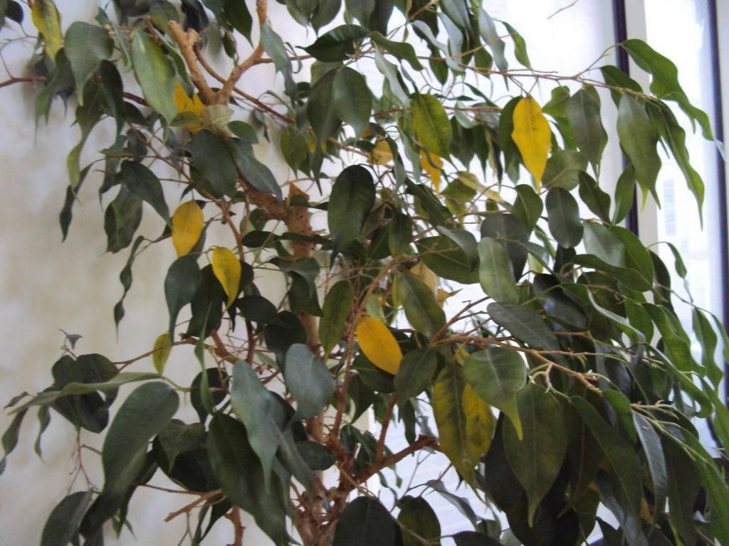 Болезни и вредители фикуса: почему желтеют, опадают, сбрасывает листья