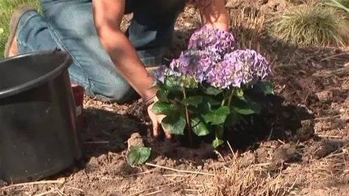 Гортензии: правила посадки весной саженцами, как ухаживать за гортензией садовой