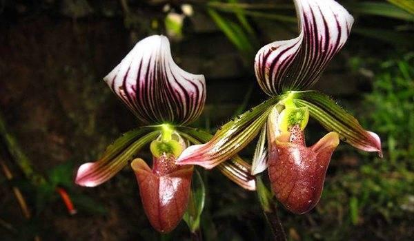 Пафиопедилум (38 фото): уход за орхидеей венерин башмачок в домашних условиях, разновидности «мауди» и «фемма», «пиноккио» и «беллатулум»