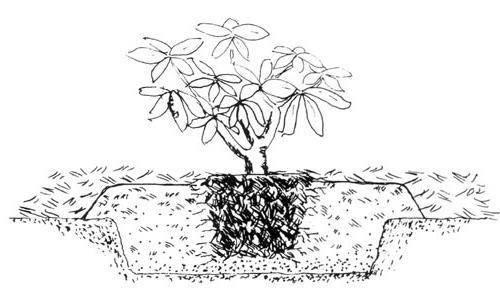 Посадка садовых азалий, уход и размножение