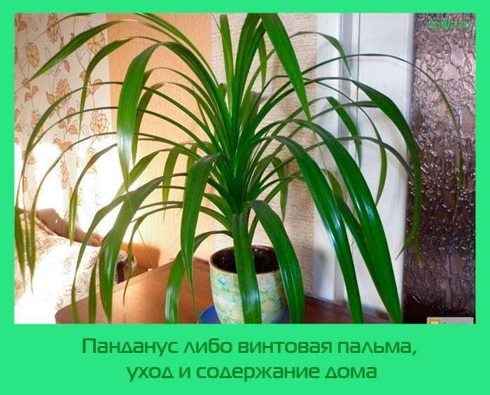 Панданус: уход, правильная посадка и секреты выращивания - общая информация - 2020