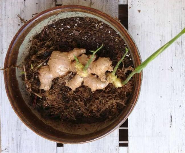 Как вырастить имбирь на даче – все о посадке, уходе и хранении