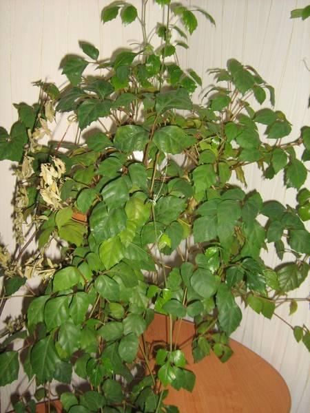 Комнатные растения, которые похожие на пальму