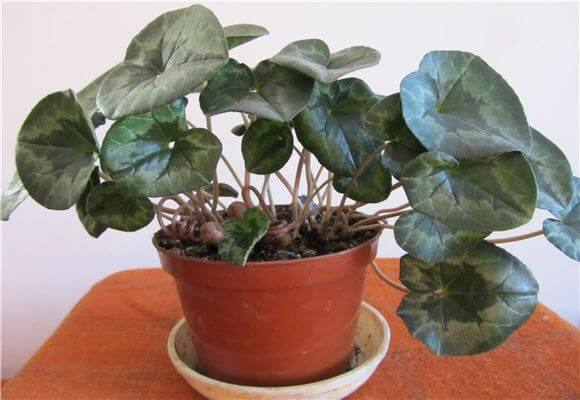 У цикламена растут только листья, и он не цветет: почему и как помочь растению