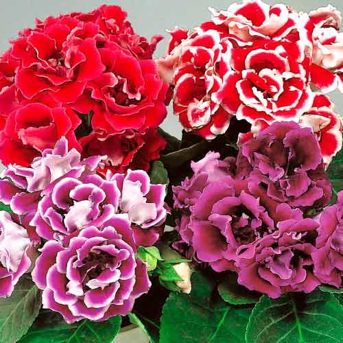 Глоксиния брокада — описание красной и синей разновидностей цветка