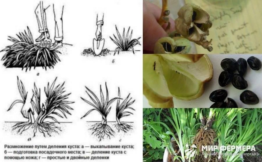 Лапчатка «ред айс» (27 фото): описание лапчатки кустарниковой red ace, посадка и уход, использование в ландшафтном дизайне