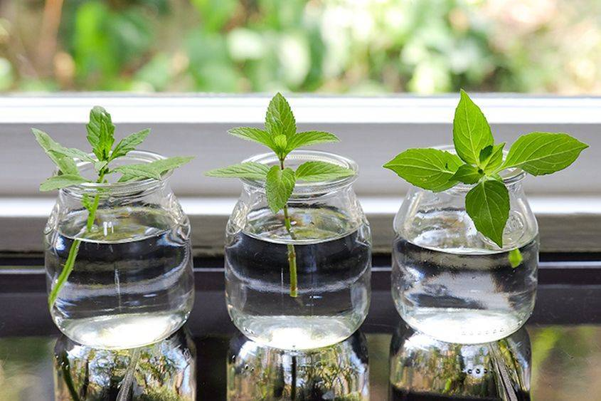 Как размножить ампельную петунию: как черенковать и как правильно посадить