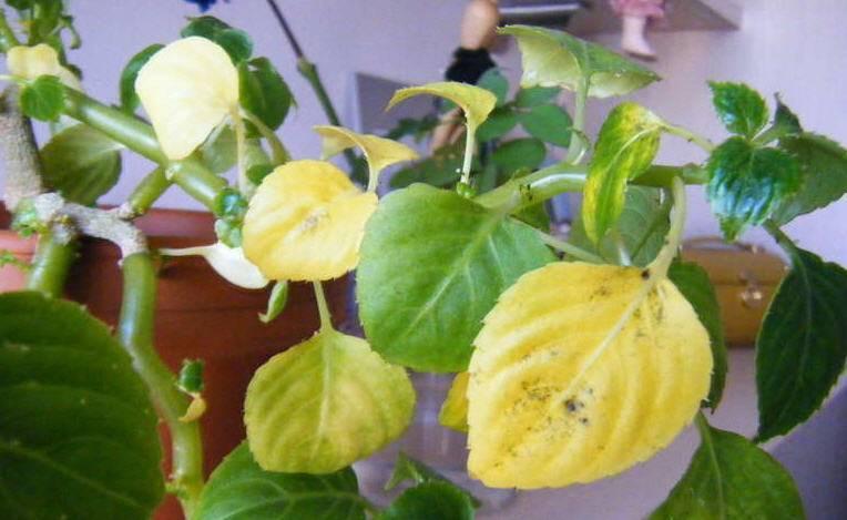 Цветоводам на заметку. почему желтеют листья у бальзамина комнатного и как реанимировать растение?