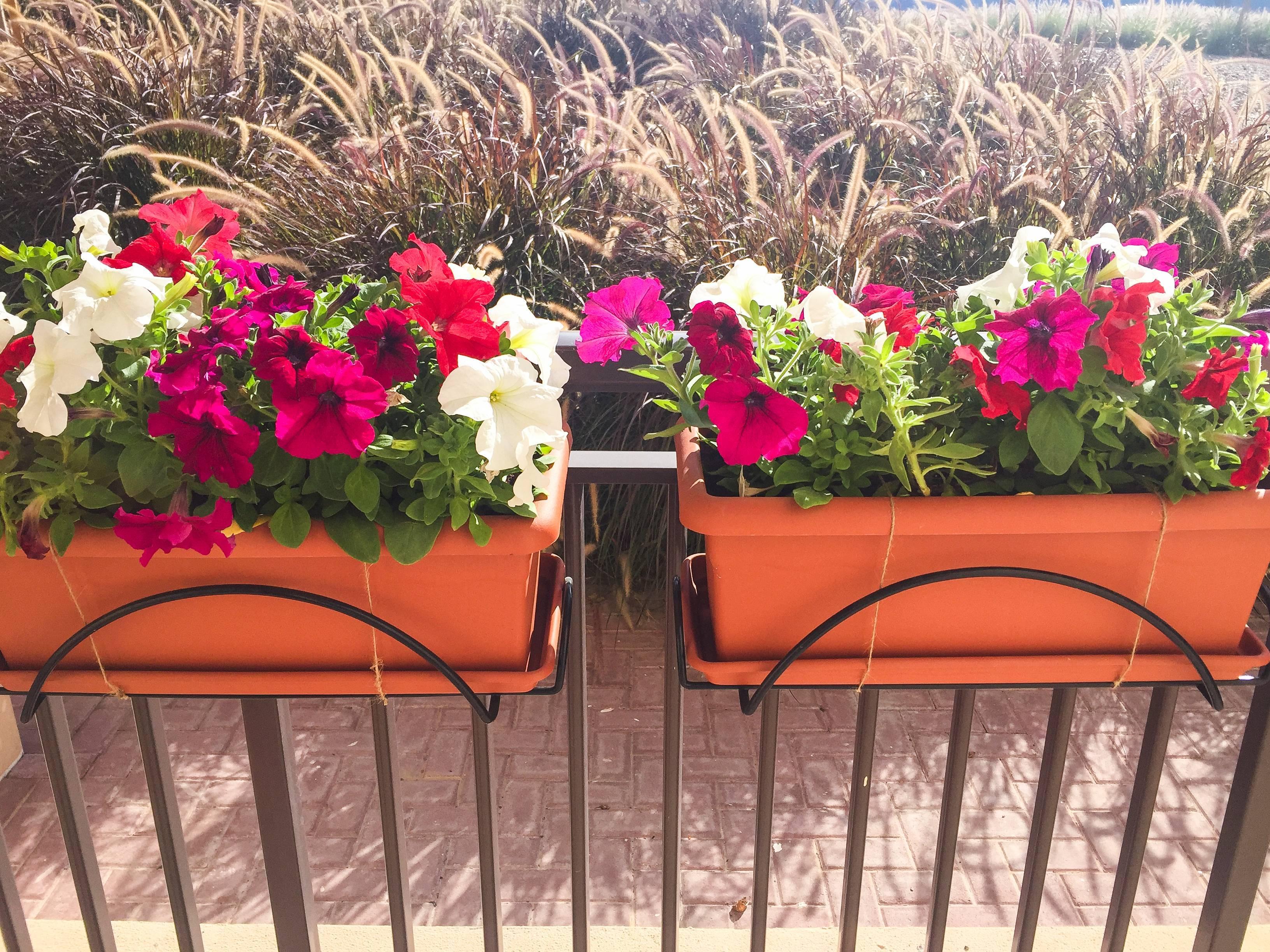Секреты обильного цветения: как поливать петунию?