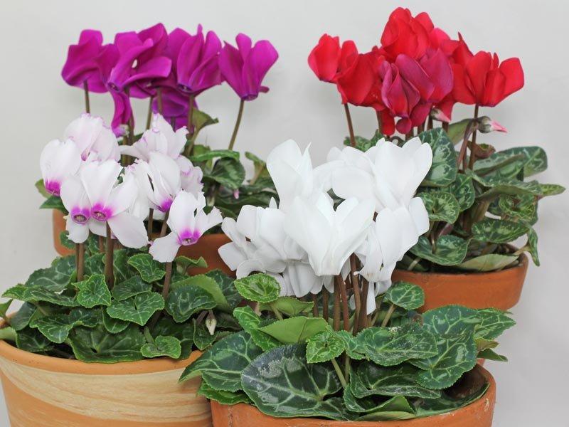 Цикламен отцвел, что делать дальше: как во время периода покоя ухаживать за комнатным растением в домашних условиях, часто ли и когда поливать, чтобы сохранить?