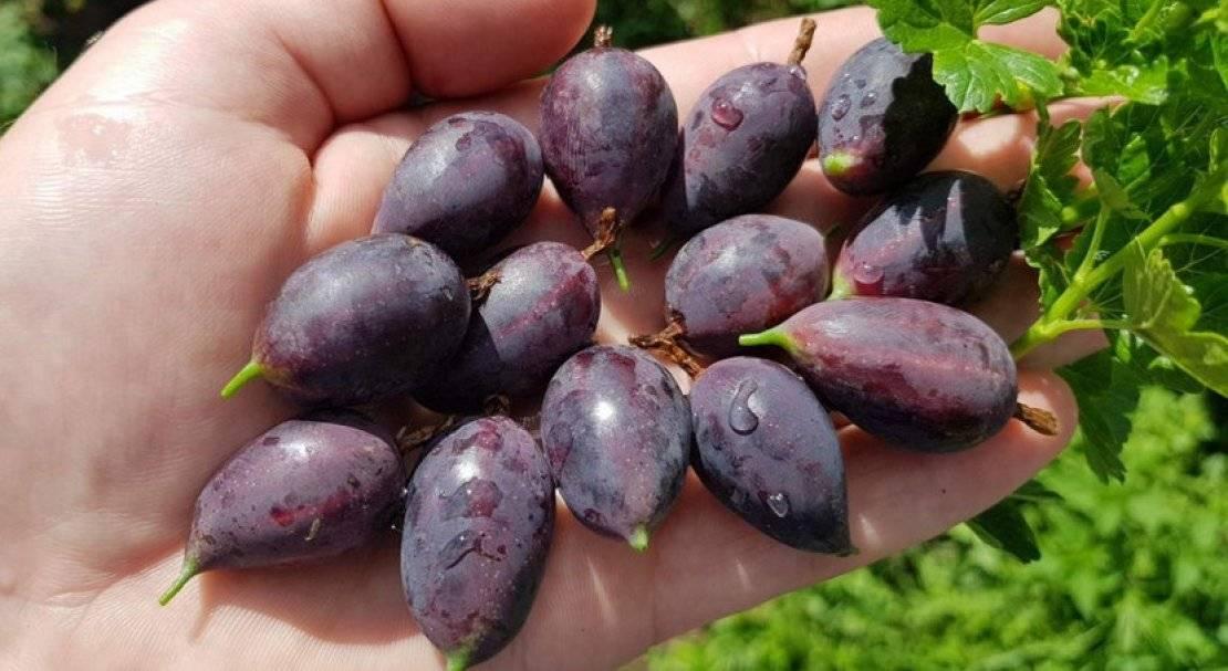 Сорта крыжовника без шипов для подмосковья: разновидности ягод в московской области