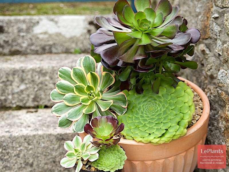 Дримиопсис: уход в домашних условиях и основные виды цветка
