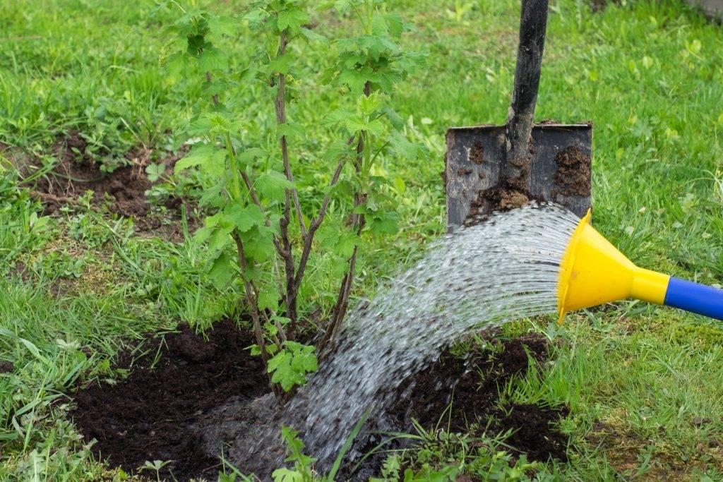 Чем подкормить крыжовник — лучшие рецепты и методы подкормки весной и осенью. особенности ухода за крыжовником в августе (85 фото)