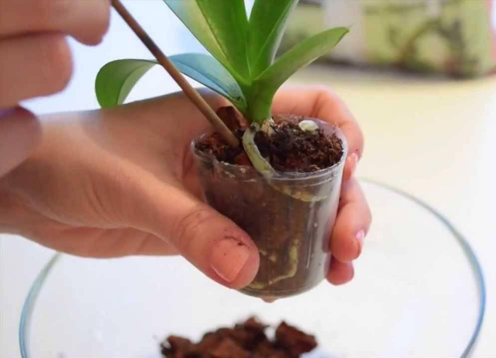 Уход за бромелией в домашних условиях, размножение, что делать если отцвела?