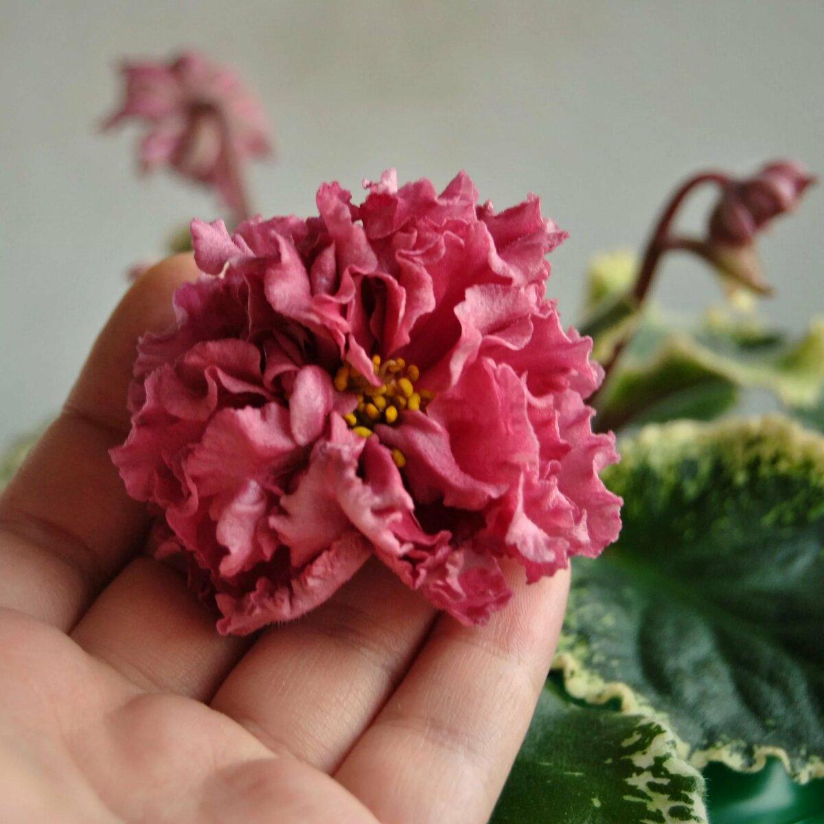Фиалка шикарный мак — яркий домашний цветок