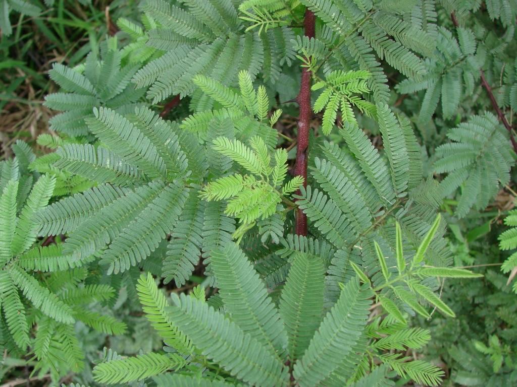 Мимоза стыдливая — что за растение, все о ней