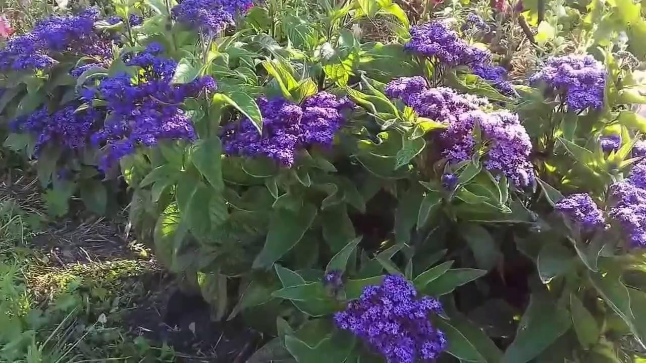 Душистый гелиотроп с ароматом ванили в цветнике и дома