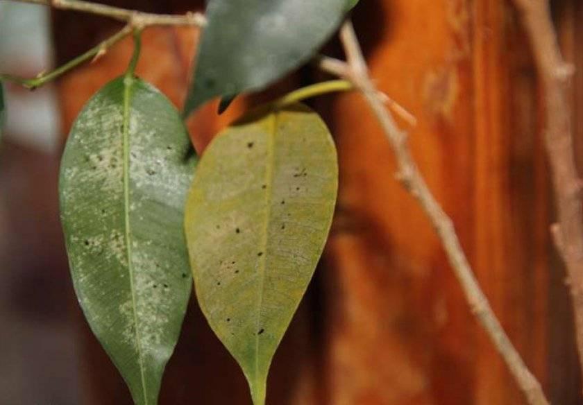 Почему опадают листья у фикуса — причины