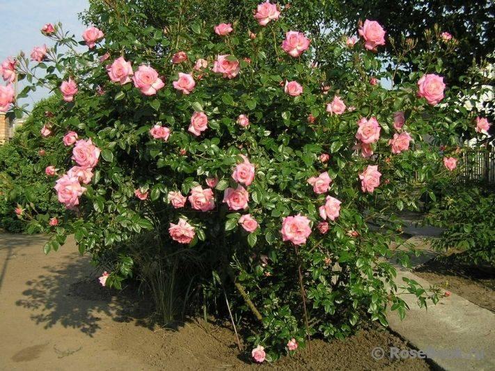 Плетистая культура хендель: что это за ирландский сорт роз, выращивание в саду