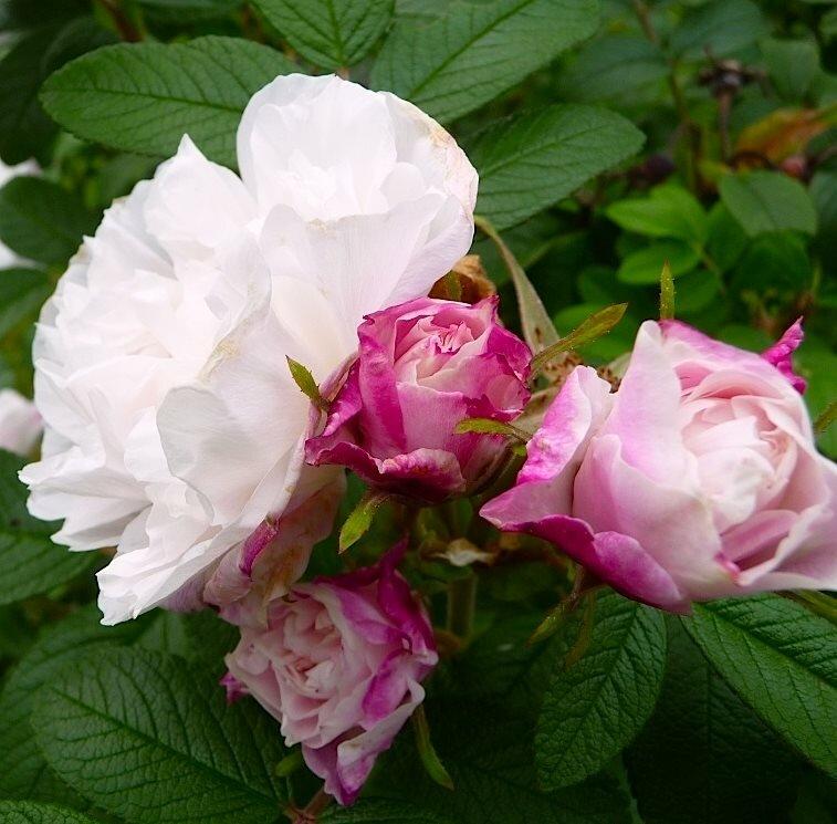 Роза августа луиза (augusta luise): описание сорта и фото растения, цветение и использование в ландшафтном дизайне, уход и размножение, болезни и вредители