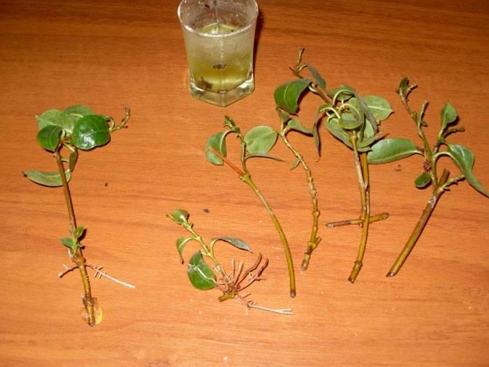 Размножение гибискуса черенками в домашних условиях: как укоренить и вырастить комнатный цветок, можно ли посадить его сразу в грунт или надо поместить в воду?